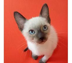 晋城纯种小暹罗挖煤猫活泼可爱幼崽