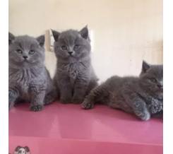 英短蓝猫宝宝找新家 健康胖虎萌萌哒